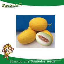 Casca amarela Suntoday com carne branca-verde Nome botânico vegetal de berçário vegetal nomes híbridos F1 sementes de melão não comestíveis