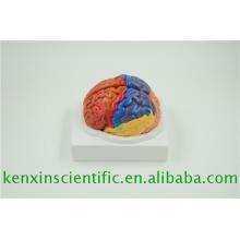 Nueva marca 2017 pequeños cerebros de plástico para la educación