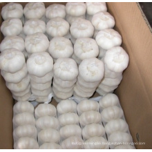 New Crop Pure White Garlic (5.0cm)
