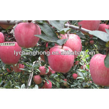 Shandong origine supply high quality Fuji apple