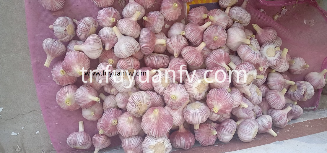 new garlic