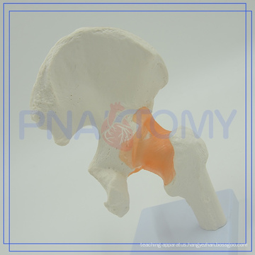 PNT-0204 hot sale hip joint model for human