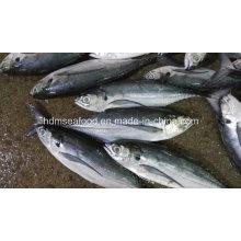 25cm + tamanho grande Hardtail Scad peixes congelados