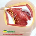 ANATOMY25 (12463) Médecine clinique Anatomie et biologie grandeur nature Éducation Modèle médical du périnée masculin
