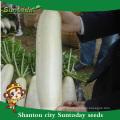 Suntoday végétal chinois légume hybride F1 organique radis navet daikok haute fois graines à vendre (52001)