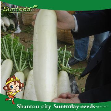 Suntoday vegetable chinese vegetable hybrid F1 Organic radish turnip daikok high times seeds for sale(52001)