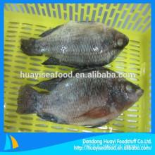 500-800g de poisson de tilapia fraîchement congelé de qualité excellente