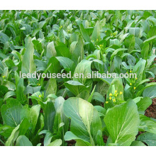 MCS01 Jianye early maturity op sweet choy sum seeds for sales