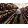 Poultry Farm Chicken Cage (Poultry Equipment)