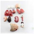 TUNK ANATOMY 12022 Plastique 15 Pièces, 26cm Corps Humain Médical Mini Modèles d'Anatomie du Torse