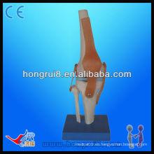 Alta calidad Vivid Life tamaño artificial Articulación de la rodilla Modelo esqueleto modelo