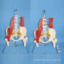 Lumbar Pelvis Muscle and Nerve Medical Anatomic Model (R040108)