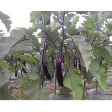 HE01 Tuichu longues graines d'aubergines hybrides rouges pourpres
