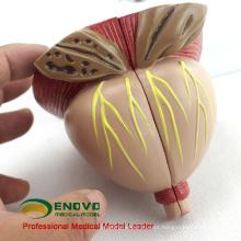 UROLOGY11 (12438) modelo anatômico médico da próstata masculina móvel grande de duas vezes do tempo de 4