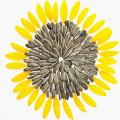 Chinesische beste gemeine Sonnenblumensamen im Oberteil