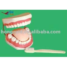Advanced PVC Dental Teeth Model, modelo de dientes humanos