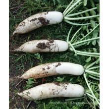 HR01 Jansi branco resistente ao calor OP sementes de rabanete em sementes de hortaliças