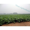 High Quality Fresh Vegetables Burdock