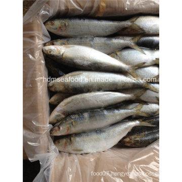 Whole Round Big Specification Frozen Sardine Fish for Market