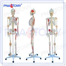 PNT-0103 180cm modelo médico con músculo coloreado y modelo de esqueleto del ligamento