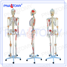 PNT-0103 180cm Medical model With colored muscle and ligament skeleton model