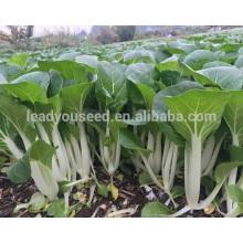 CC08 Yinong excellentes graines de chou chinois hybrides résistantes aux maladies