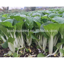 CC08 Yinong excellent disease resistant hybrid chinese cabbage seeds