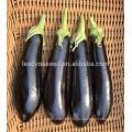 Е21 GL316 гибрид F1 черный-фиолетовый баклажан семена с зелеными чашелистниками