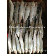 Fresh W/R Frozen Sardine Fish for Bait
