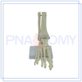 PNT-0109F HOT Life Size Foot Joint Model, Bones of Foot,Foot Skeleton Model