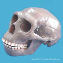 Modelo de esqueleto de crânio humano de Pequim para pesquisa médica