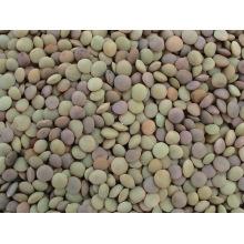Lentilles Chinoises / Lentilles Vertes (LT-004)