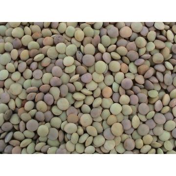 Lentejas chinas / lentejas verdes (LT-004)