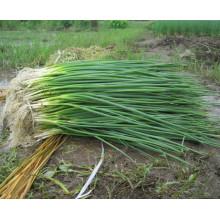 HSH01 Jinsen OP graines d'échalote / ciboulette graines dans les graines de légumes