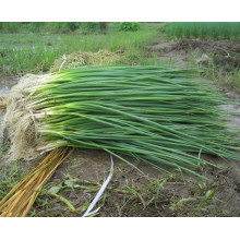 HSH01 Jinsen OP shallot seeds/chives seeds in vegetable seeds