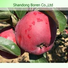 Heißer Verkauf süßer u. Köstlicher Huaniu Apfel