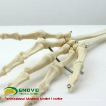 JOINT11 (12358) медицинская Анатомия человека предплечье скелет модели, Сочлененный модель скелета руки