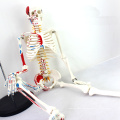 SKELETON04 (12364) Medical Science 85cm Skeleton Model with Muscle Painted for Medical Science, Best Gift for Orthopaedist