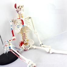 SKELETON04 (12364) Modelo esquelético de los 85cm de la ciencia médica con el músculo pintado para la ciencia médica, el mejor regalo para el ortopedista