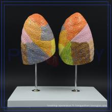 Modèle pulmonaire de système respiratoire de vente chaude de PNT-0474 à vendre