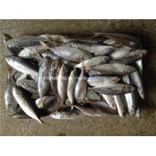 Peixe congelado grande do Scard do olho (cavala japonesa do jaque)