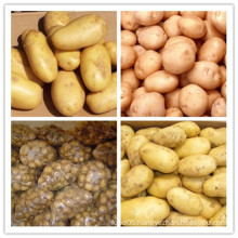 New Crop Chinese Fresh Potato