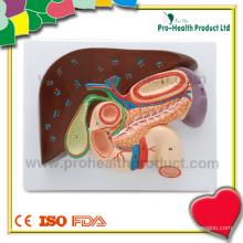 Modelo Profissional Médico de Fígado Profissional