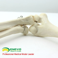 JOINT11 (12358) Medical Anatomy Human Upper Arm Skeleton Models, Articulated Arm Skeleton Model