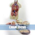 TORSO01 (12012) медицинские науки Бесполого торс 12 частей 45см высокая модель анатомии, анатомии человека модель , лучший подарок для доктора