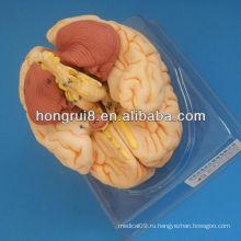 Мозговая головка ISO, анатомическая анатомия головного мозга