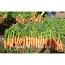 CA04 Xiuhong mediados de la madurez temprana semillas de zanahorias híbridas f1 Semillas de hortalizas chinas