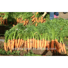 CA04 Xiuhong mid-early maturity f1 hybrid carrot seeds Chinese vegetable seeds