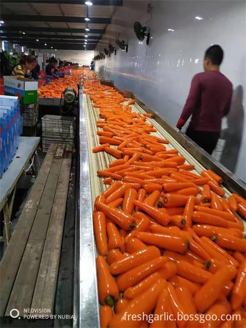 Fresh Carrot 2019