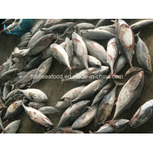 Chinese Big Frozen Bonito Size